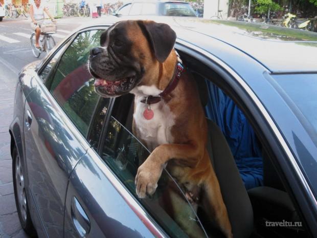 Остров Лидо. Собака в автомобиле