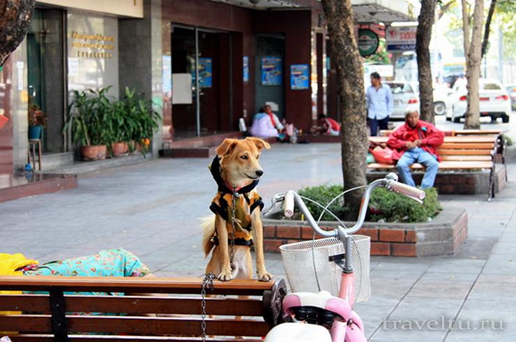 Храм Ват Сакет. Бангкок. Собака на улице