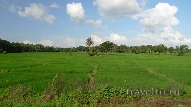 Шри-Ланка. Рисовые поля