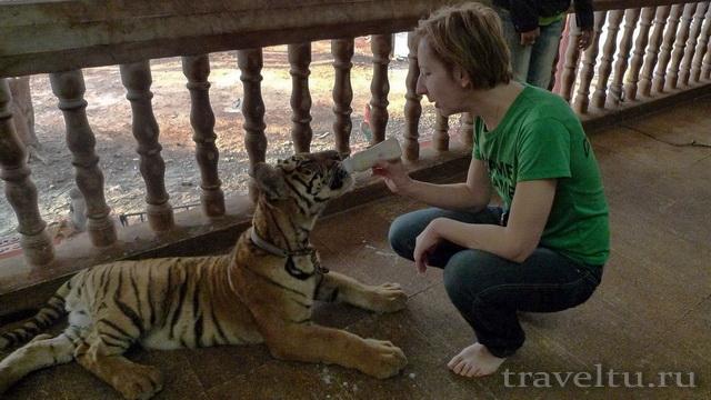 Храм тигров в Таиланде. Провинция Канчанабури. Алла кормит тигра