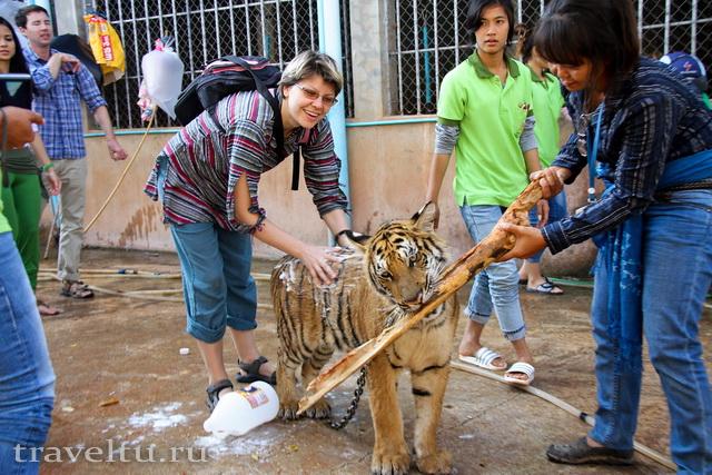 Храм тигров в Таиланде. Провинция Канчанабури. Мытье тигров