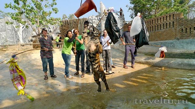 Храм тигров в Таиланде. Провинция Канчанабури. Тигр и буёк