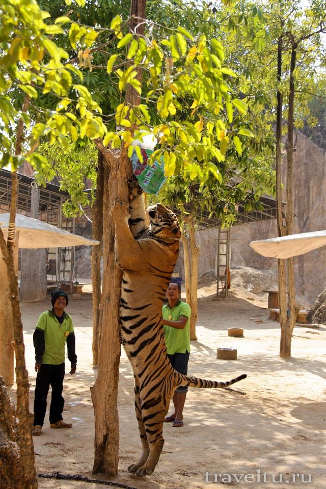 Храм тигров в Таиланде. Провинция Канчанабури. Тигр прыгает за пакетом