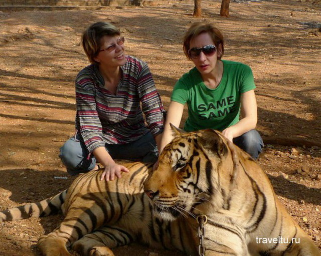 Храм тигров в Таиланде. Провинция Канчанабури. Тигр
