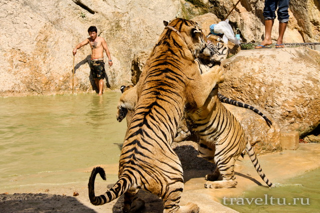 Храм тигров в Таиланде. Провинция Канчанабури. Тигры дерутся