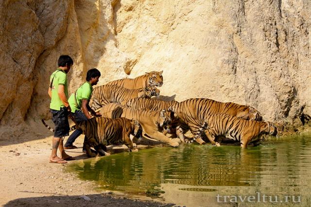 Храм тигров в Таиланде. Провинция Канчанабури. Тигры на озере