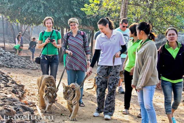 Храм тигров в Таилнаде. Провиниция Канчанабури. Тигрица