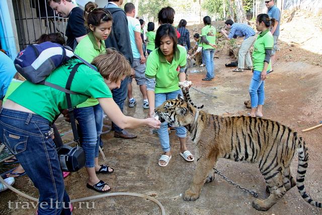 Храм тигров в Таилнаде. Провинция Канчанабури. Кормление тигра