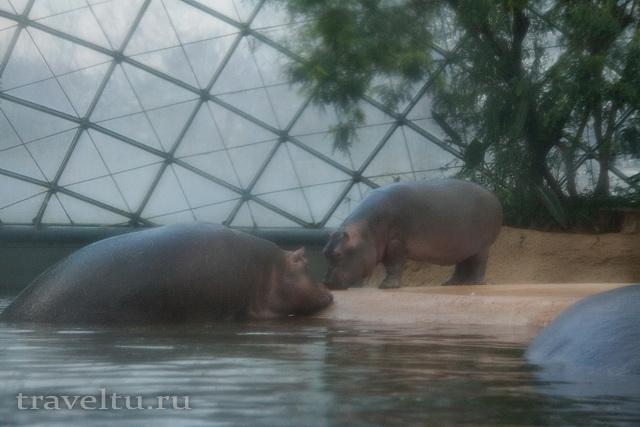 Прогулки по Берлинскому зоопарку. Гиппопотамы