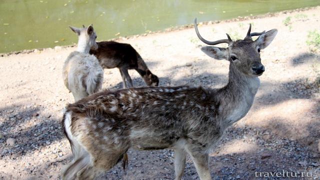 Сафари-парк в Канчанабури. Антилопа