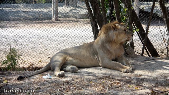 Сафари-парк в Канчанабури. Лев