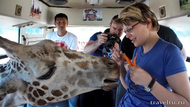 Сафари-парк в Канчанабури. Жираф в автобусе