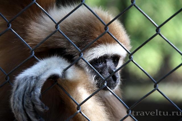 Сафари-парк в канчанабури. Гиббон