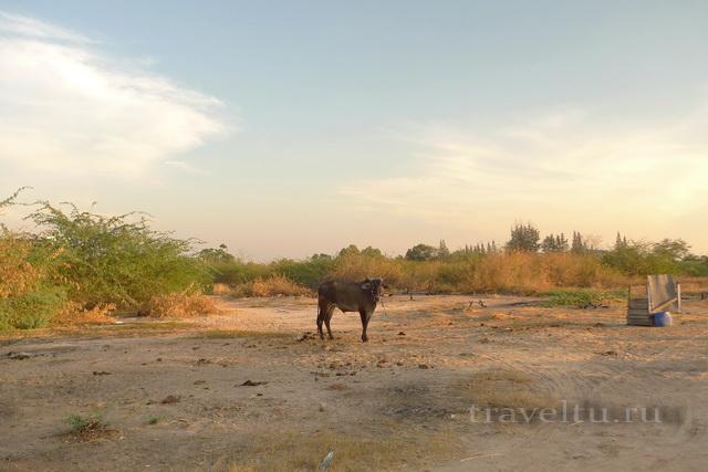 Курорты Тайланда. Ча-Ам дорога в город корова