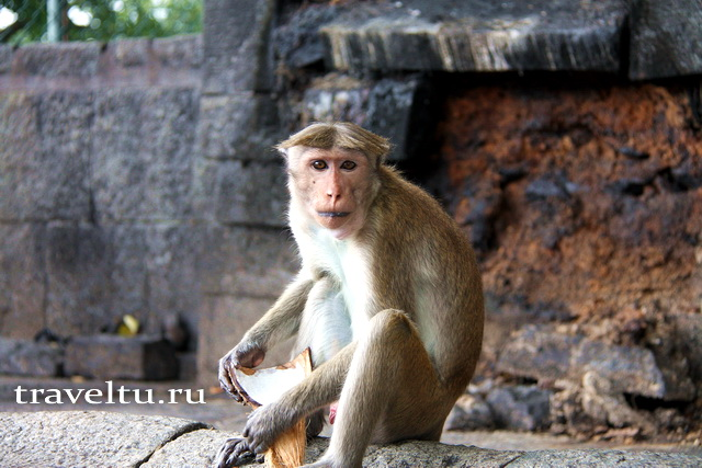 Советы туристам. Обезьяны на Шри-Ланке