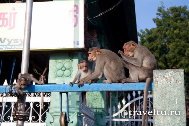 Обезьяны в Индии. Полезные советы