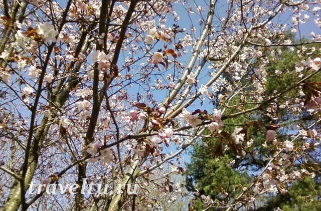 Цветение Сакуры 2013