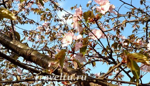 Цветение сакуры в Главном ботаническом саду РАН