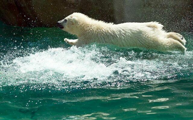 Белый медведь в полете