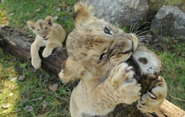 Режутся зубки у львят