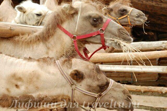 Верблюды в этнопарке