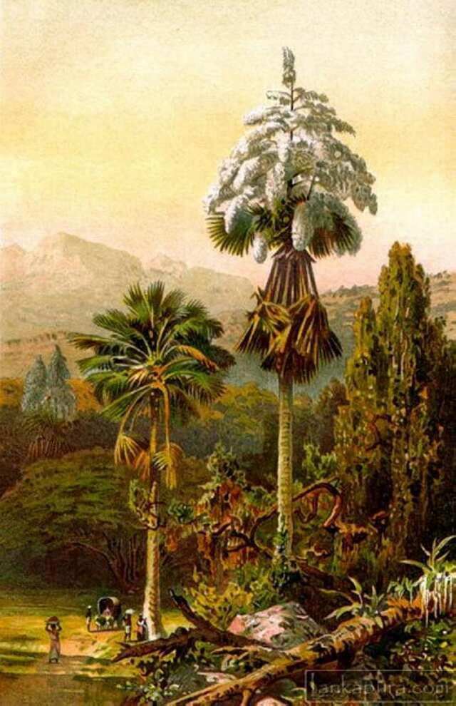 Корифа зонтоносная (веерная пальма пальма)