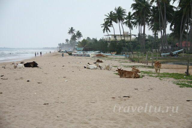 Пляж, коровы, лодки