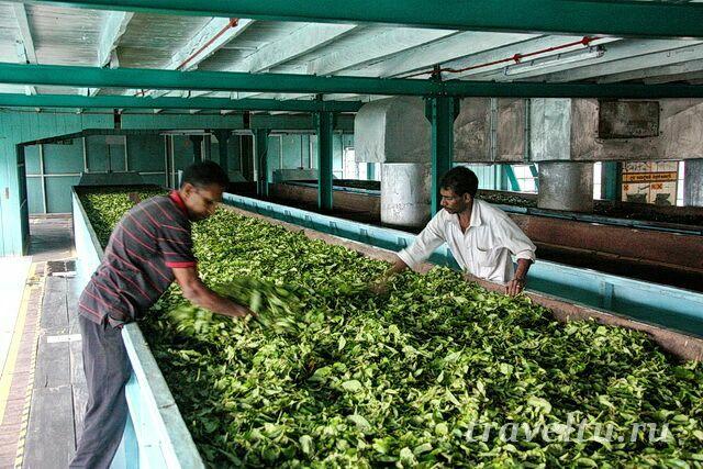 так сушат листья на фабрике
